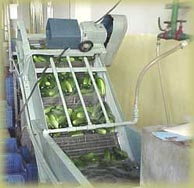 Washing of farm fresh gherkins